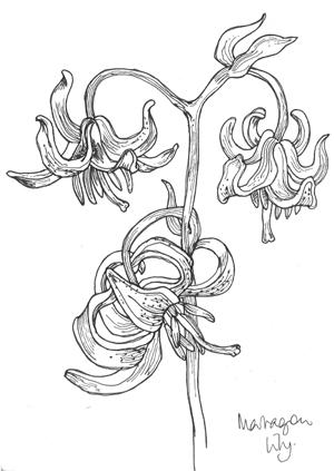 Marragon Lily